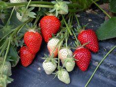 Fragole - Clery - Vivai Mazzoni Strawberry, Fruit, Food, Essen, Strawberry Fruit, Meals, Strawberries, Yemek, Eten