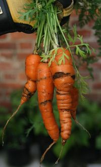 Carrot fly are a common pest which can quickly spoil your crop. The larvae of these flies burrow into the carrots leaving brown tunnels as they go. Growing Carrots, Growing Veggies, Garden Pests, Herb Garden, Garden Tips, Garden Ideas, Veg Patch, Organic Gardening Tips, Autumn Garden