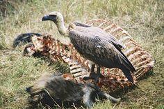 african-white-backed-vulture2.jpg (1840×1232)
