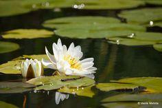 Imagini pentru rizac planta Painting, Art, Plants, Art Background, Painting Art, Kunst, Paintings, Performing Arts, Painted Canvas