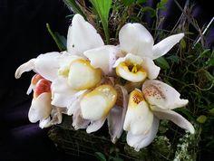 Stanhopea ecornuta by Daniel-CR, via Flickr