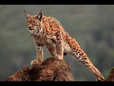 Iberian lynx, by Marina Cano in Cabarceno, Cantabria, Spain. The largest wildlife park in Europe.