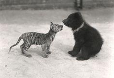 Tiger and Bear, April 1914 (Janosch ♥)
