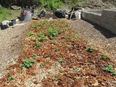 Gärtnern Auf Strohballen Anleitung-stroh-präparieren   Garten ... Gaertnern Strohballen Vorteile Unkrautfrei