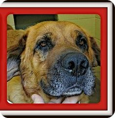 Benton, AR - Hound (Unknown Type)/Shepherd (Unknown Type) Mix. Meet Russet, a dog for adoption. http://www.adoptapet.com/pet/13413946-benton-arkansas-hound-unknown-type-mix