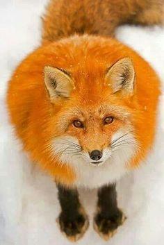 Flaming orange fox