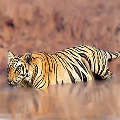 Remember Life of Pi and Richard Parker ? See real Tigers at close quarters here in Ranthambore.