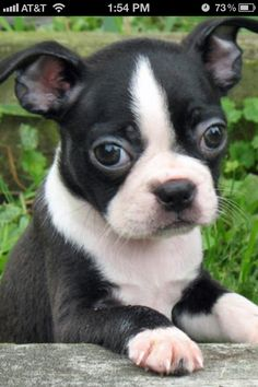 Boston terrier puppy :)