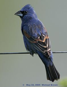 Blue Grosbeak by Michael Brown    22 May 2005 Vermillion County, Indiana