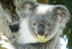 Save Australia's local koala colony from extinction ! PLEASE... - Care2 News Network