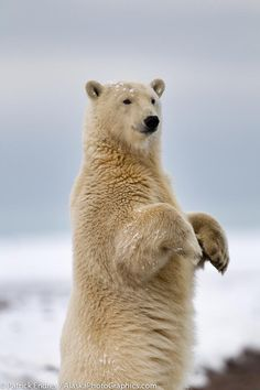 Polar bear - these guys are one of the reasons to protect the Arctic from drilling.