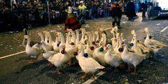 Ciento ochenta ocas blancas, amaestradas en Palencia, animarán con su porte de cuento las cabalgatas de Reyes de Madrid, Almería, Roquetas de Mar y Pa