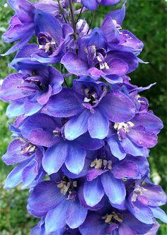 blue delphinium, love this!!!