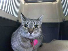 A1085537 PRINCESA. MANHATTAN CENTER  PRINCESA – A1085537  FEMALE, GRAY TABBY, AMER SH MIX,2 yrs STRAY – ONHOLDHERE, HOLD FOR DOH-B Reason BITEPEOPLE Intake condition EXAM REQ Intake Date 08/15/2016, DueOut Date 08/25/2016, Medical Behavior Evaluation RED Medical Summary BARH scan negative female cat clean EEN clean coat overweight nervous, growling, swating, striking limited PE NOSF Weight 14.0