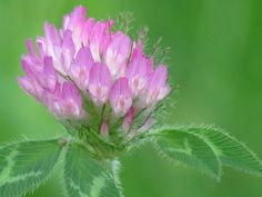 Clover | by The Art of Nature...Beauty is everywhere just have
