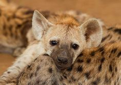 hyena pup - tuckered out and so freaking cute