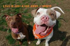 Adopt... don't shop! 2,000 Pitbulls are euthanized each day in shelters.
