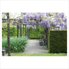 Wisteria growing over pergola in the gardens of Mien Ruys