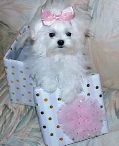 Maltese Dog Prettiest present Ive ever seen. Cute Puppies, Cute Dogs, Dogs And Puppies, Doggies, Baby Animals, Cute Animals, Baby Cats, Sweet Dogs, Maltese Dogs
