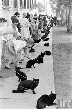 "in a cat call audition was held in hollywood for a film adaptation of edgar allen poe's ""black cat."" of course, vincent price and peter lorre got in on the action. needless to say, it was pussy galore. Crazy Cat Lady, Crazy Cats, I Love Cats, Cool Cats, Vincent Price, Cat People, Here Kitty Kitty, Kitty Cats, Vintage Cat"