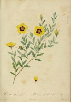 1817 - Les Roses - by P.J. Redoute - via Archive.org