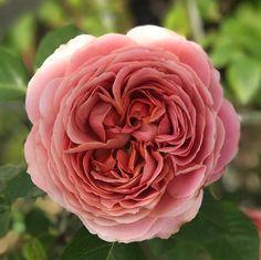 2017/05/22 * 朝から暑ーい�� * #バラ があっという間に咲いちゃいます�� * ①#ロマンティックアンティーク ✨ 花も大きくて、めっちゃ可愛いなぁ〜�� * ②#ジュリア この子は色んな表情で咲いてくれる子�� * ③#ブラッシュノアゼット 小さくて可憐✨ * ④#グリーンアイス 薄ピンクだぁ〜! * * * * #薔薇#バラが好き#花#花が好き#花が好きな人と繋がりたい#花の好きな人と繋がりたい#花のある暮らし#オルラヤ #庭#庭の花#ガーデン#ガーデニング#マイガーデン#ナチュラルガーデン #rose#roses#flower#flowers#flowerstagram#garden#mygarden#instagarden#flowerslovers どこにでも#オルレア がいる笑 http://gelinshop.com/ipost/1519923943350463903/?code=BUX2sYJA-2f