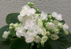 Ballet Snowcone (A. Snow Cones, Violets, Cool Photos, African, Ballet, Plants, Plant, Ballet Dance, Dance Ballet