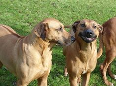 Rhodesian Ridgeback really happy