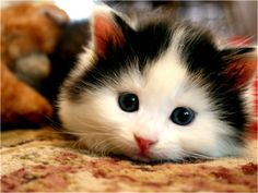 black & white kitten