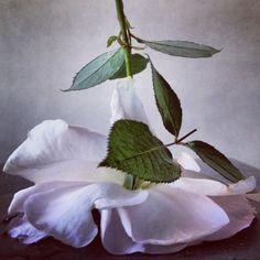 Rose from Nick Knight's garden. End of season. #roses.  3rd November 2013.