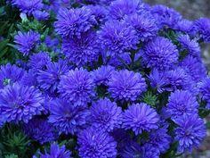 Blue asters / mums / chrysanthemum