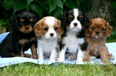 Cavalier King Charles Puppies For Sale | Crow Mountain King ...