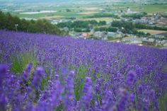 Furano lavender field. The blossomy freshness of Hokkaido summer time.