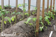 Как выращивать помидоры в теплице, чтобы получить от них максимальный урожай? Прежде всего, грамотно распланировать места для томатов.    Но подвести схему посадки под одно правило достаточно трудно. У каждого опытного огородника есть собственное мнение на этот счет.    Прозондировав множество советов, мы предлагаем наиболее удачные схемы высадки томатов:    - Скороспелые, низкорослые сорта: посадка в шахматном порядке (два ряда, промежуток между которыми 50-55 см), с формированием в 2-3…