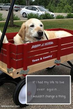 Labrador Quotes, Town And Country, My Life, Labrador Retrievers, Labs, Funny, Yellow, Labrador Retriever, Labrador Retriever Dog