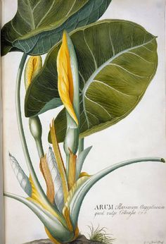 Georg Dionysius Ehret, Arum /vintage botanical illustration
