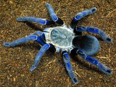 The cobalt blue tarantula (Haplopelma lividum) is a tarantula species that is native to Myanmar and Thailand. The cobalt blue tarantula is a medium size tarantula with a leg span of approximately 5 inches. Pet Tarantula, Tarantula Enclosure, Beautiful Creatures, Animals Beautiful, Flora Und Fauna, Itsy Bitsy Spider, Beautiful Bugs, Bugs And Insects, Pets