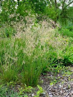 """Deschampsia flexuosa (Wavy hairgrass) - good in dry shade, slow growing, blooms spring - 6-18"""""""