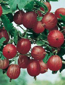 groseiller à maqueraux.Arbuste fruitier robuste et rustique, buissonnant, à feuillage caduc. Rameaux…