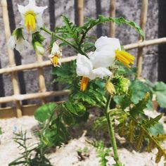 Verwelkom onze nieuwe aanwinst: in de reeks vreemde groenten: de litchitomaat  - Plz welcome our new guest another nog-so-common plant: the litchi tomato  #watzidthijergevaarlijkuit #litchitomato #litchitomaat #vergetengroenten #growyourown #groentetuin #groententuintje #gardenlife #garden #moestuin #stekelig #veggies #vegetablegarden http://ift.tt/2rVaylQ