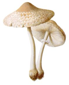 mushrooms Macrolepiota excoriata