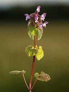Punapeippi, Lamium purpureum - Kukkakasvit - LuontoPortti