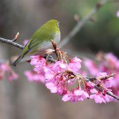【yossy3418】さんのInstagramをピンしています。 《#ヒカンザクラ #メジロ #桜 #さくら #花フレンド #はなまっぷ #ザ花部 #花撮り隊 #mydailyflower #loves_garden #loves_nippon #wp_flower #wp_まっぷ花まつり #team_jp_ #team_jp_西(岡山) #team_jp_flower #setouchigram37 #japan_daytime_view #icu_japan #ig_japan #gf_japan #art_of_japan_ #bestjapanpics #pkt_japan #phos_japan #キタムラ写真投稿 #instagramjapan #風景 #scenery #nature * * * 📮2017.2.12📮 おはようございます🤗 今朝も寒い朝です🌀 サクジローさん、後ろ姿も素敵ですがこっち向いて〜🤗🙌🌸🐦》
