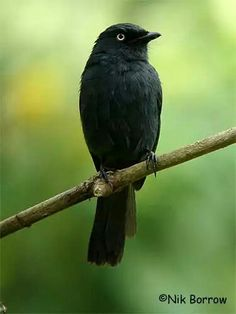 Yellow eyed black flycatcher
