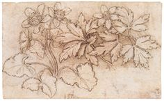 Discovering da Vinci - Sketches of various plants by Leonardo da ...