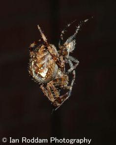 2) Male & female embrace Garden Spider, Female