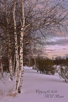 Winterscape with White Birch trees during sunset at Mill Creek Marsh in Secaucus NJ (Meadowlands)