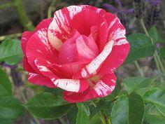<3 striped rose <3