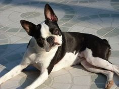 The Boston Terrier dog is known as the American Knight for his good manners and ability to lead a good urban life. It developed in Boston and became the symbol … A Guide to Boston Terrier Dog READ Cutest Small Dog Breeds, Best Small Dogs, Cute Small Dogs, Cute Dogs Breeds, Best Dog Breeds, Best Dogs, Boston Terrier Love, Boston Terriers, Boston Terrier Price