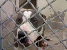 on DEATH ROW - Poor Girl is back in Carson Shelter, Gardena, CA. Six months ago she was adopted, now she's back  ID#A4623753. Stray hold is 72 hours then she can be killed. she is only 9months old, her life just started and now is in danger. PLEASE BE HER SAVIOR. NO DOG DESERVES TO DIE FOR BEING HOMELESS. adopt/foster/rescue DO IT TODAY, TOMORROW MIGHT BE TO LATE!  https://www.facebook.com/photo.php?fbid=760420143986740&set=a.267246836637409.78995.100000562853444&type=3&theater